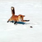 fox_in_nature